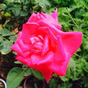 マリアカラスさん、何度も咲いてくれます