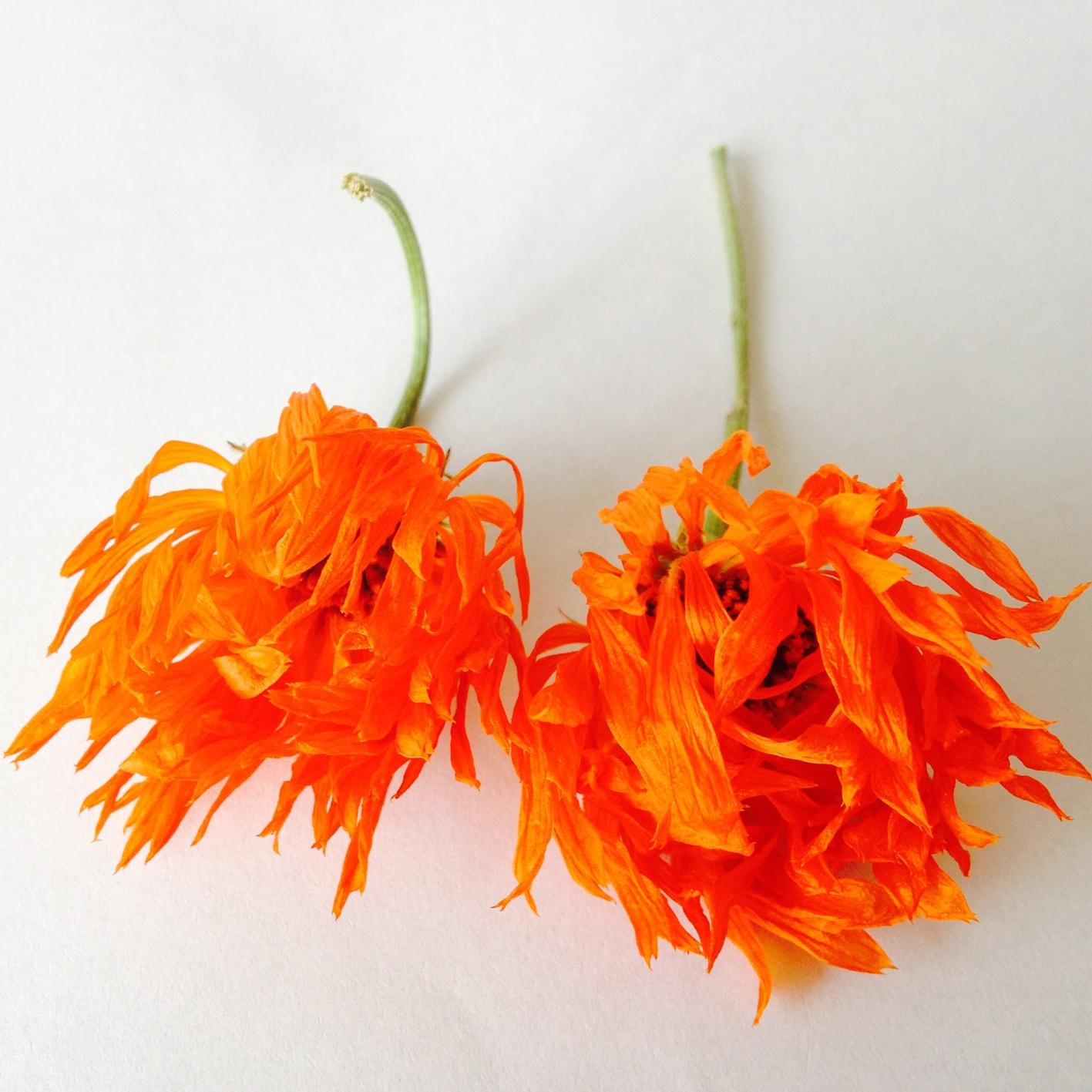 dry calendula